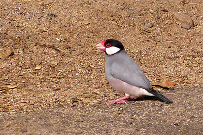 Java Sparrow December 2013, Cynthia Meyer, Maui, Hawaii