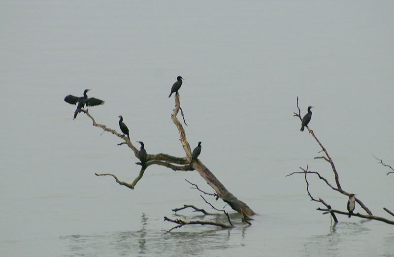 Skarven er en fugl fra en fjen fortid!