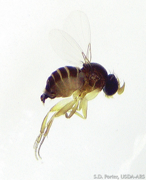 obtusus-female.jpg