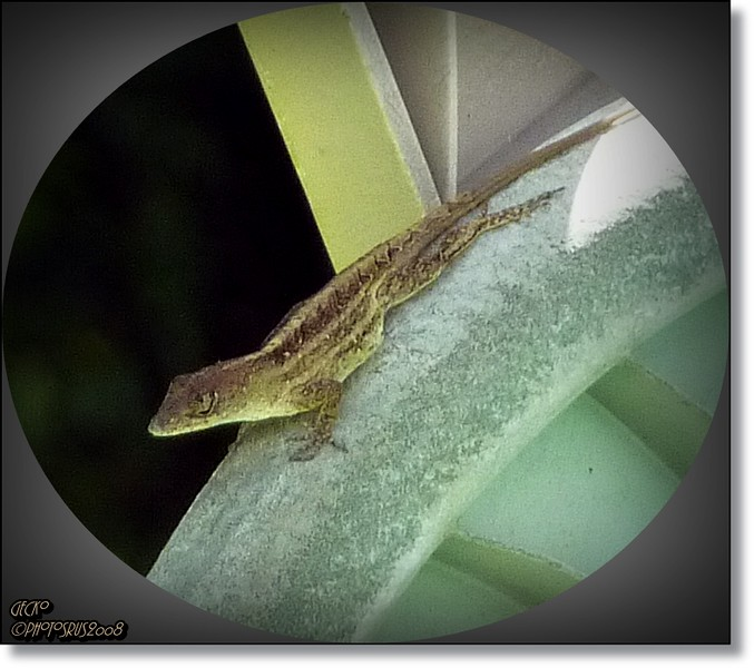 Brown Anole Lizard...© www.Photosrus.com...Bob Lester...All rights reserved