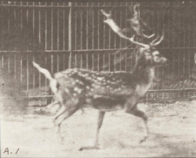 Fallow deer, buck, trotting, and galloping