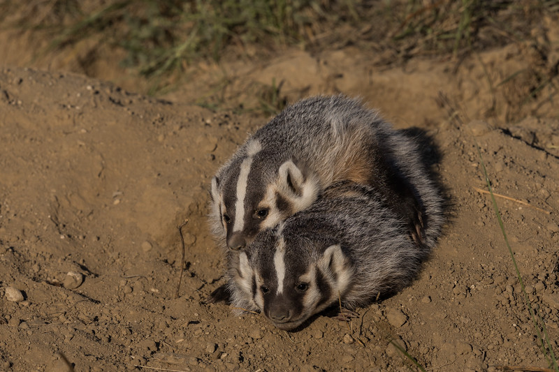 Badger Cub Siblings