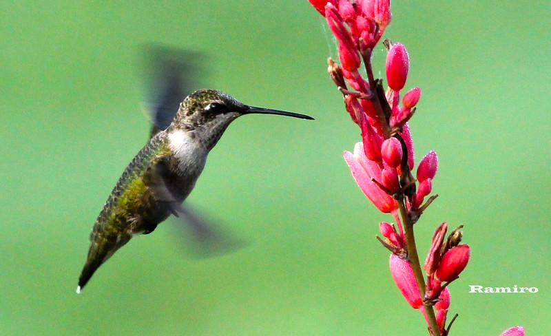 Humming bird 6-6-15 101.jpg
