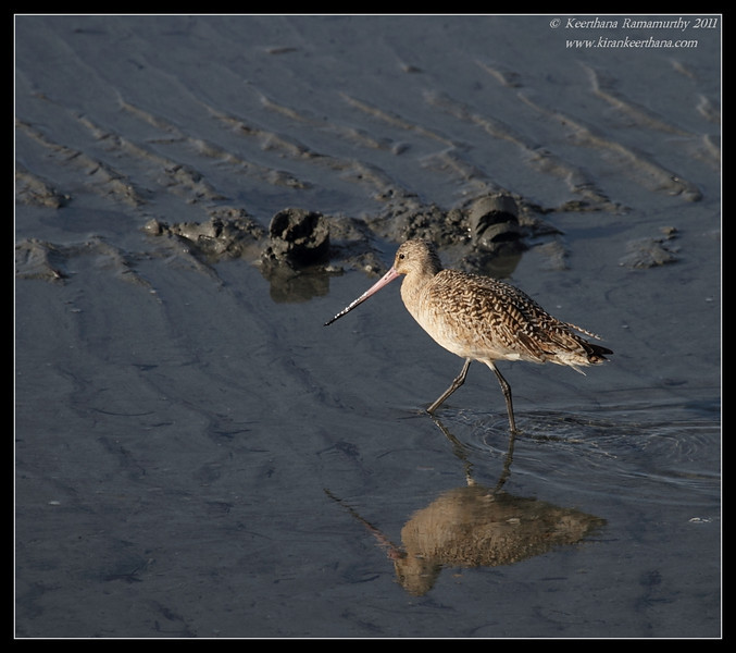 Marbled Godwit, Robb Field, San Diego River, San Diego County, California, March 2011