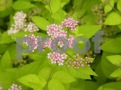 lime-mound-spirea-perfect-small-shrub