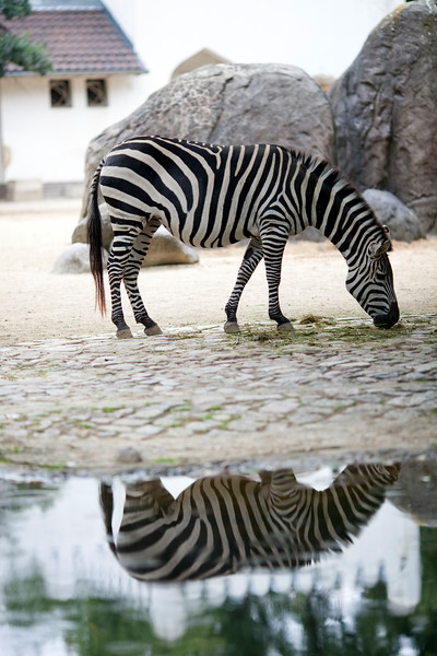Zebra, Berlin zoo, Germany