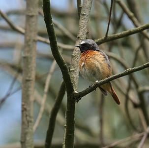 Leppälintu (Phoenicurus phoenicurus)