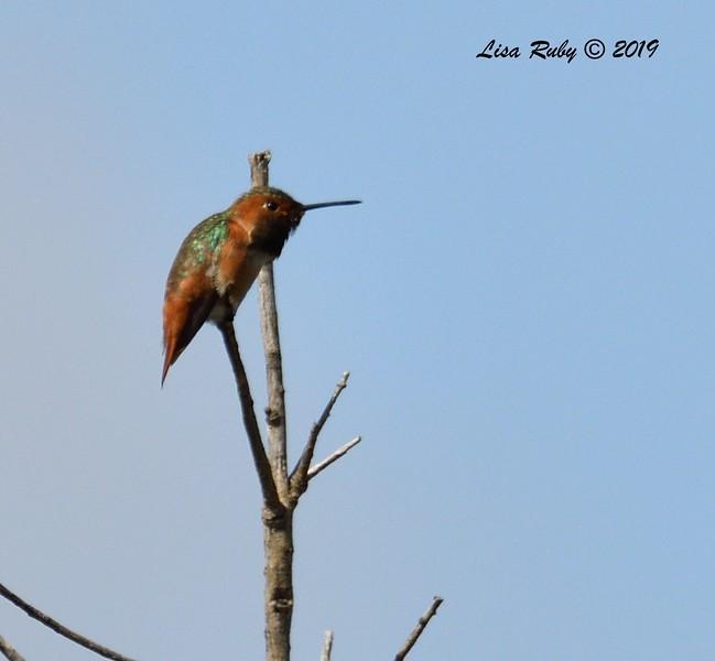Rufous/Allen's Hummingbird (I think Allen's)  - 5/12/2019 - Sabre Springs South Creek trail