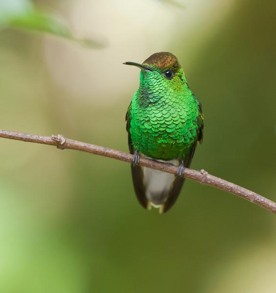 Coppery-headed Emerald