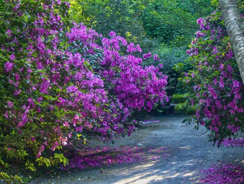 Azalea blooms at Magnolia Gardens