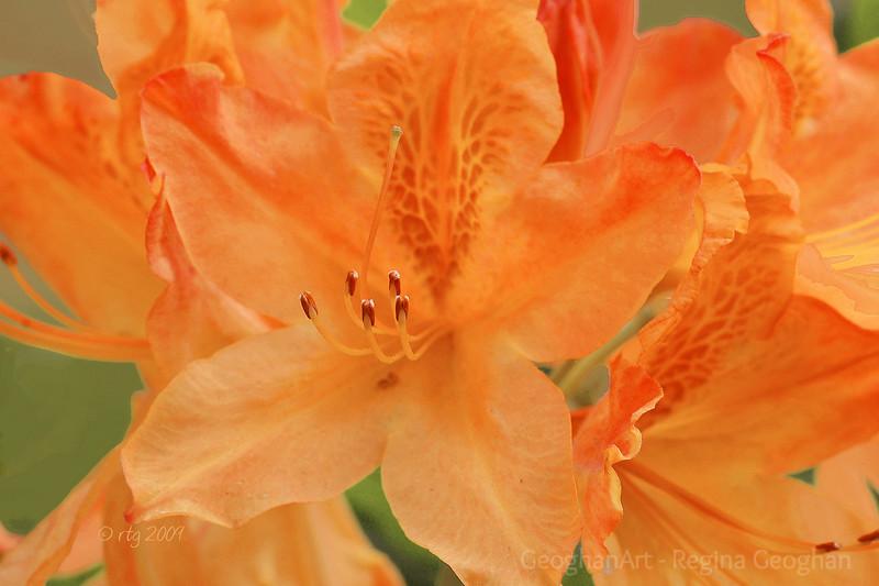 Flowering Shrubs_Azalea-Orange_0089.jpg