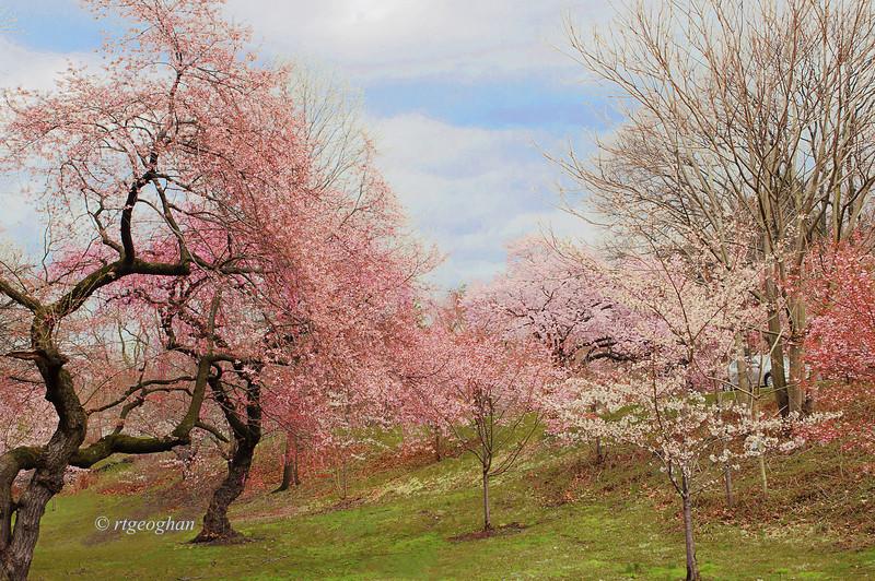 April 13_BranchBrookCherryBlossoms_7724.jpg