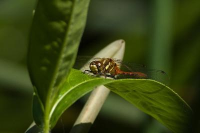 Striped Meadowhawk