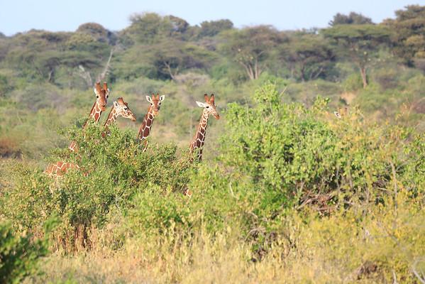 Reticulated Giraffe Sarara 2014