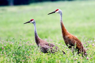 Large Birds - Cranes