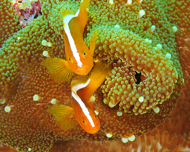 Orange Clownfish, two