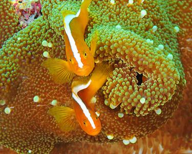 Orange Clownfish, two