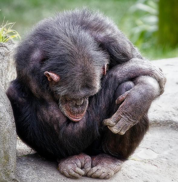 chimpanzee-thinking.jpg