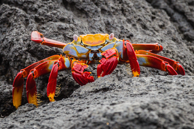 Galapagos Islands Animals - Sally Lightfoot Crab - Lina Stock