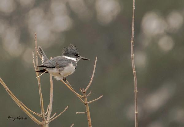 Belted Kingfisher_DWL6168.jpg