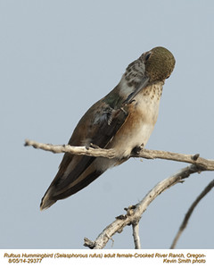 Rufous Hummingbird F29377.jpg