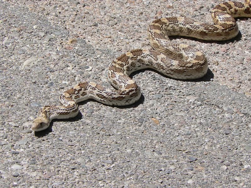 DMBullSn994 April 15, 2007  1:33 p.m.  P1000994 Bull Snake S. E. Arizona