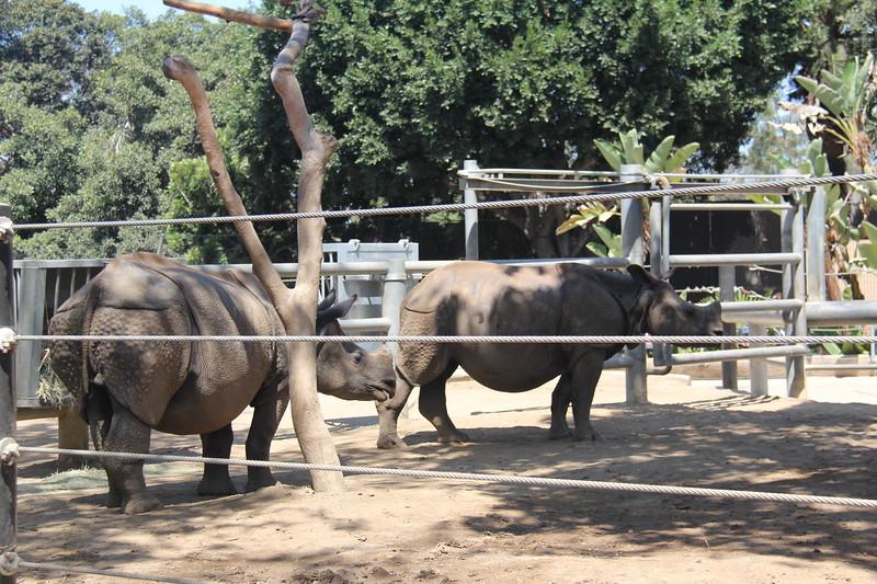 20170807-054 - San Diego Zoo - Rhinoceros.JPG