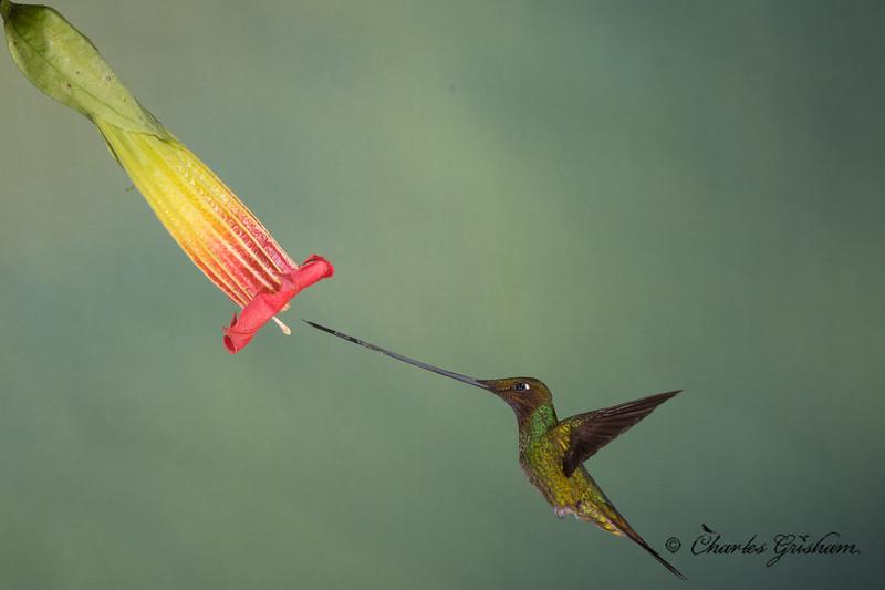 swordbill hummingbird guango lodge ecuador february 2019.jpg