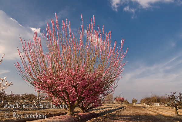Peggy Clarke Flowering Apricot<br>(Prunus mume)