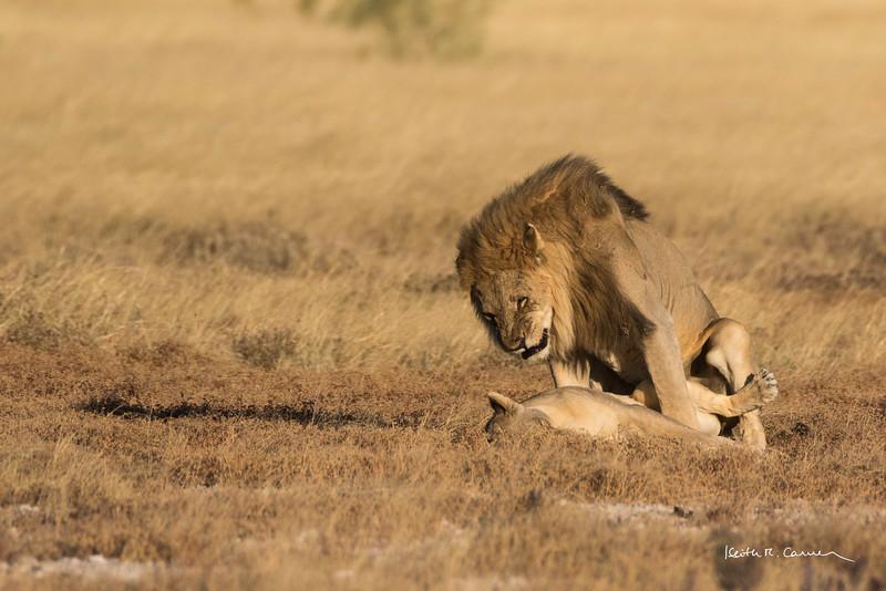 Male lion mates with female lying in Etosha veldt