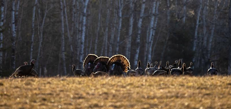 Wild Turkey flock displaying male toms courtship Skogstjarna Carlton County MN  IMGC5717-2.jpg