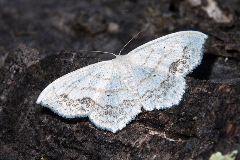 Lace-border - Large - (Scopula limboundata) - Dunning Lake - Itasca County, MN