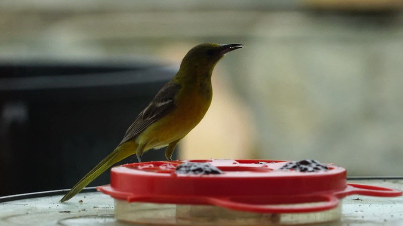 Oriole eating Jelly