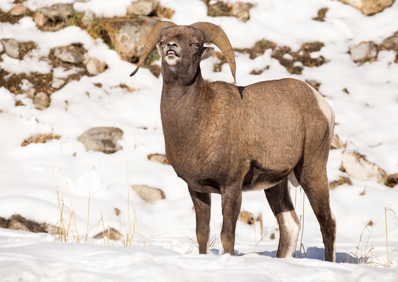 Bighorn Sheep - Talking. 4497