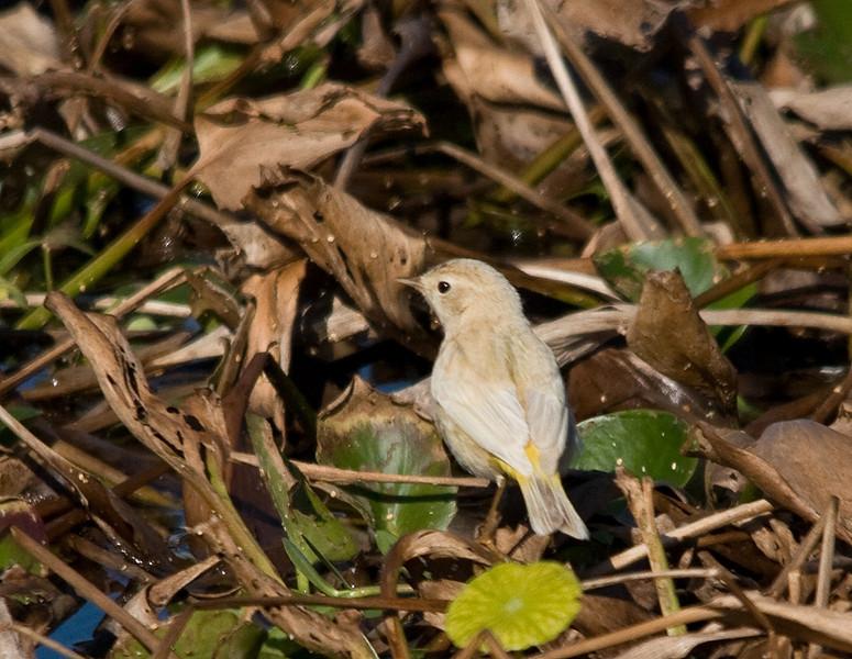 leucistic palm warbler