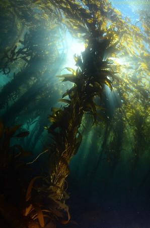 kelp-2011