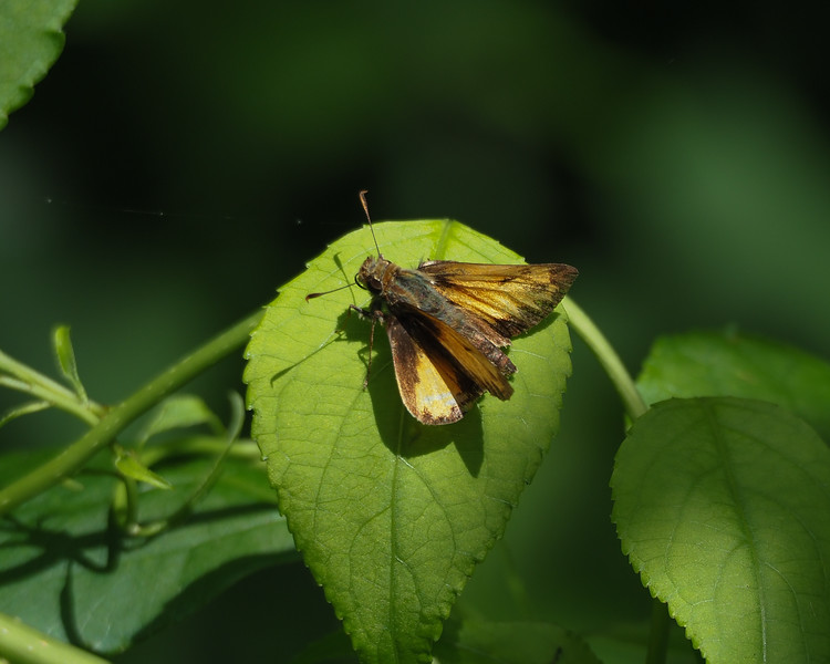 Zabulon Skipper, male