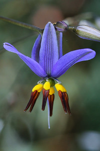 Hemerocallidaceae
