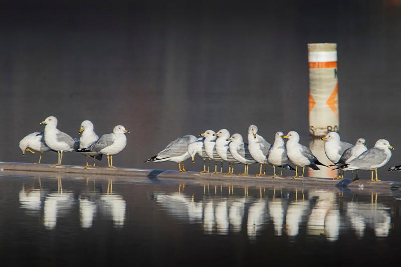 3.2.18 - Prairie Creek Marina: 15.1 Ring-billed Gulls waiting for the weekend.