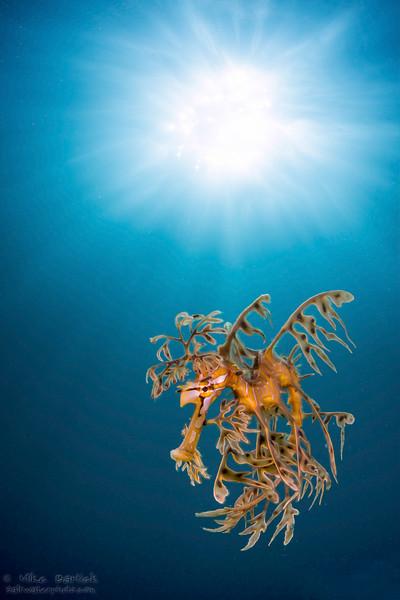 2-Leafy Sea Dragon (1 of 1).jpg