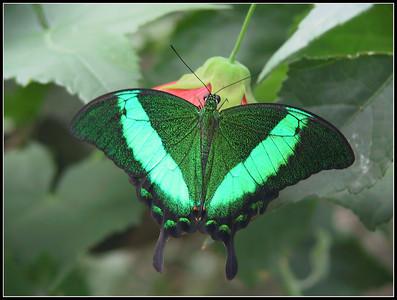 Butterflies Garden  (Hunawihr - Alsace ) 2008