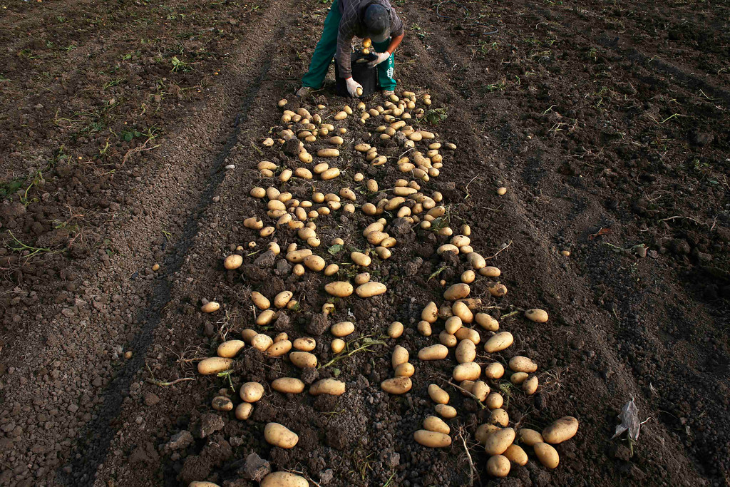 """. Day labourer Jorge Ibanez, 20, harvests potatoes in the southern Spanish region of Cartagena, Murcia, June 7, 2013. Ibanez quit school at the age of 16 to help pay the bills at home and did various different jobs before going back to complete his secondary education. Recently, he decided to start working as a day labourer. \""""I know for sure this is not what I want to do for the rest of my life, but this is all I can find now,\"""" he says. The majority of day labourers in the region come from Morocco and Ecuador, and it can be rare to see Spanish labourers in the fields. Nevertheless, as Spain wrestles with economic crisis and youth unemployment levels above 50 percent, some young Spaniards are starting to consider the kinds of jobs mostly performed by immigrants during the boom years.  Picture taken June 7, 2013. REUTERS/Susana Vera"""
