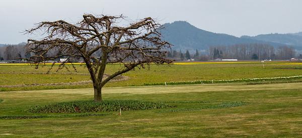 Daffodils Skagit County
