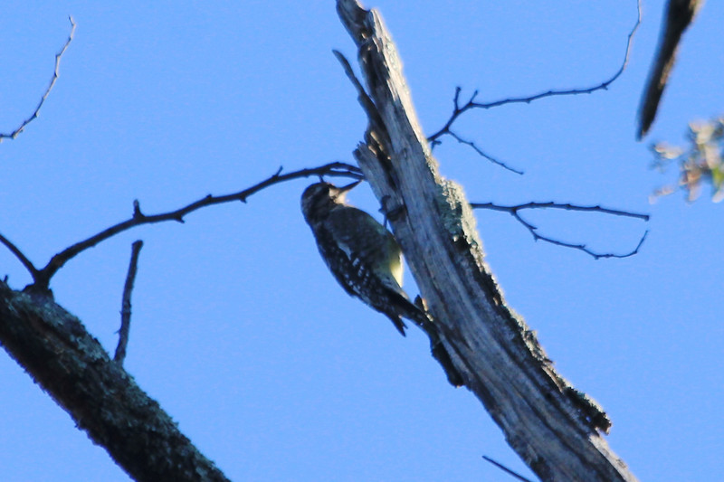 October 13, 2012 - (Shenandoah National Park [Dickey Ridge visitor center parking lot] / Front Royal, Warren County, Virginia) -- Yellow-bellied Sapsucker