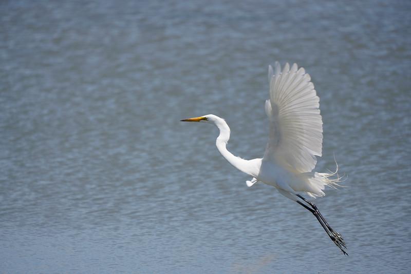 Great Egret at Don Edwards Refuge in SF Bay