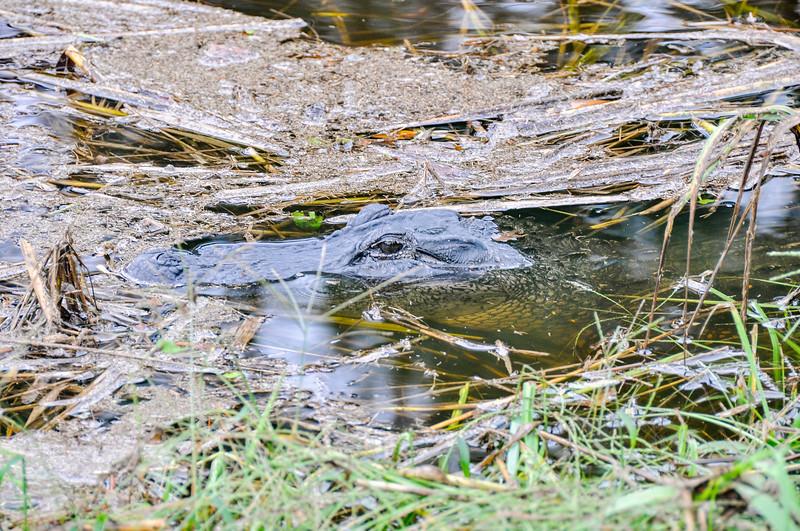 But the neighborhood gator is enjoying the fresh water!