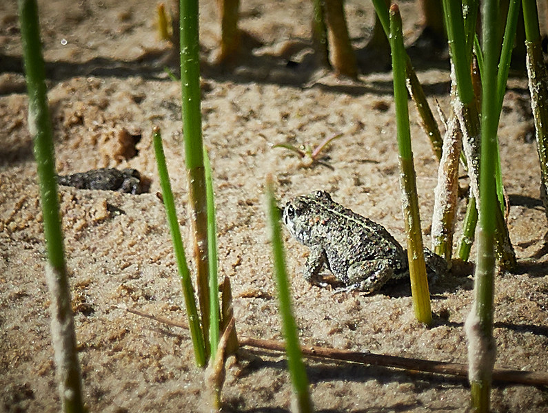 Baby Natterjack Toad - about 20mm long!