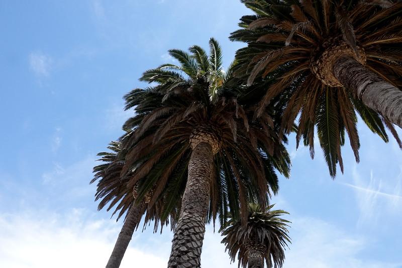 Palm Treets in Palois Verdes Estates