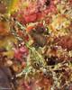 Brown Pygmy Seahorse