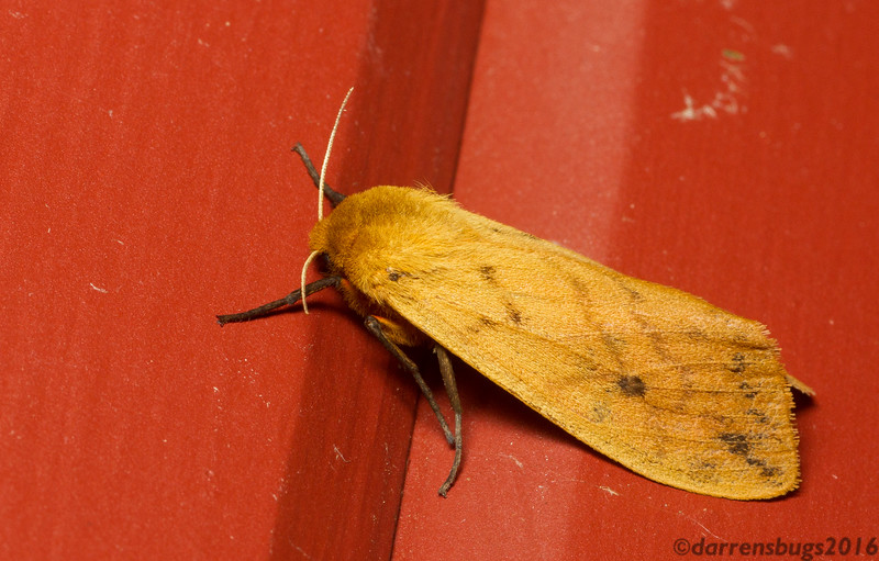 Isabella Tiger Moth, Pyrrharctia isabella, from Iowa.